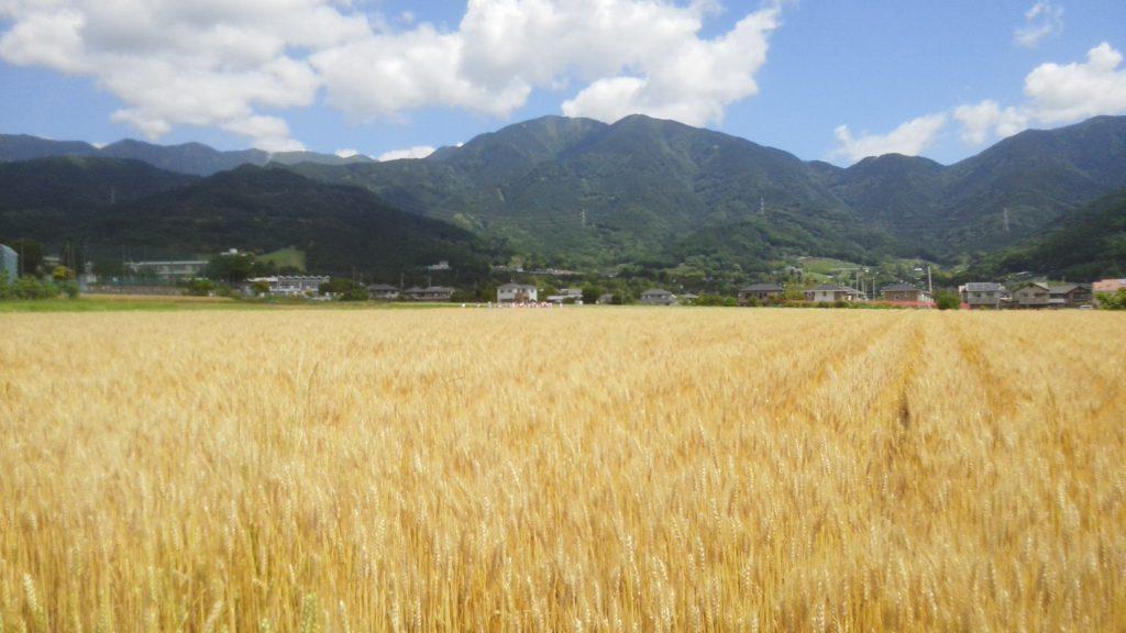 秦野産小麦